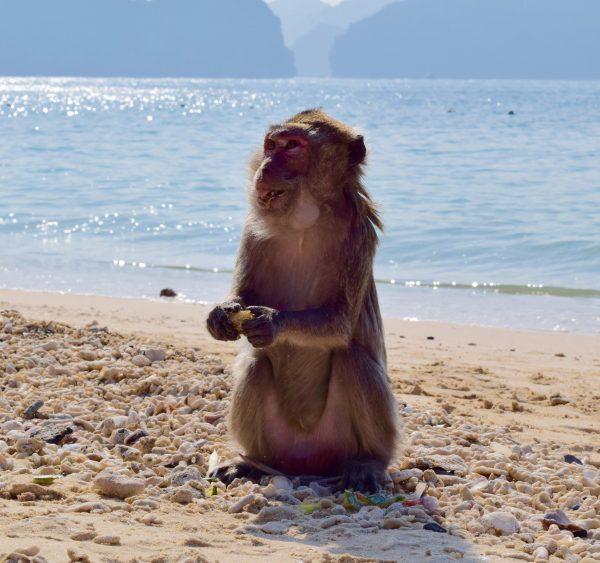 Un singe sur Monkey island