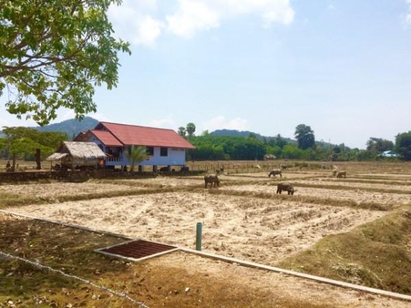 Rizières complètement sèche du mois d'avril à Koh Yao Noi