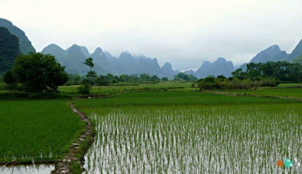 Paysages de rizières de la région de Yangshuo